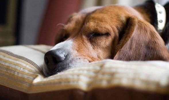 Perro que sufre narcolepsia
