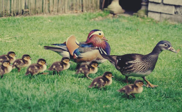Crias de patos