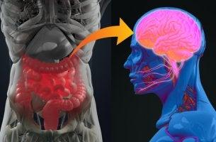 Bacterias del intestino y cerebro para representar los efectos de los psicobióticos