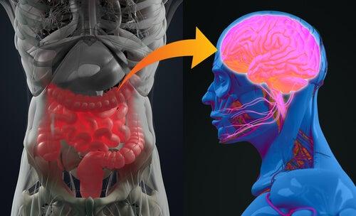 Bacterias del intestino y cerebro para representar el sistema nervioso entérico