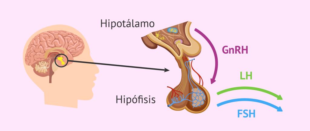 Estructura de la hipófisis