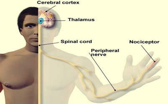 hombre con fibras nerviosas y nociceptores