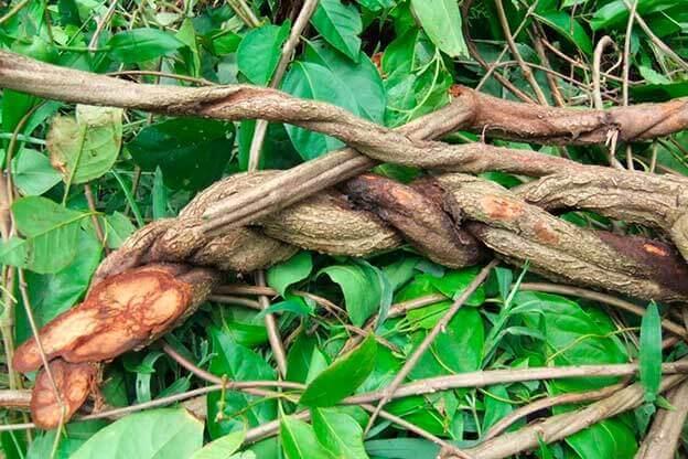 La ayahuasca: mitos y verdades