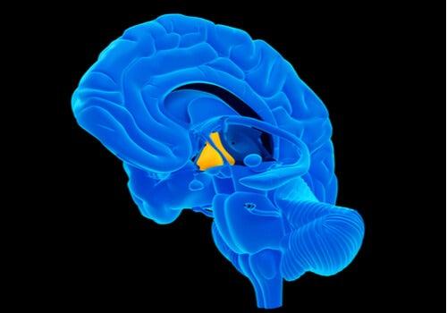 Hipotálamo en el cerebro