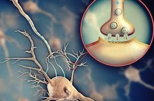 neuronas comunicándose gracias a la acetilcolina