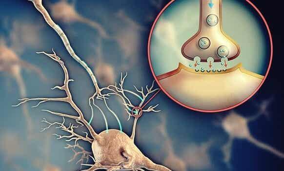 Acetilcolina: el neurontransmisor que facilita la comunicación entre neuronas