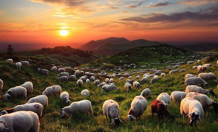ovejas en campo representando el inspirador cuento oriental