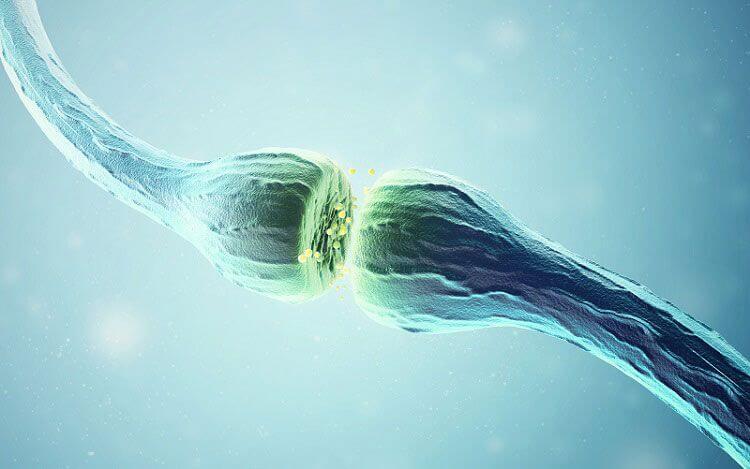 sinapsis mediada por la acetilcolina