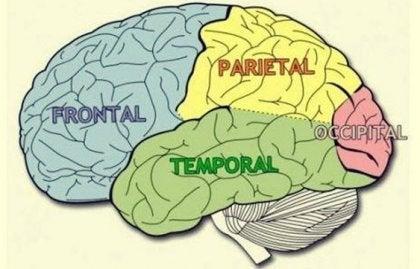 Lóbulos cerebrales: características y funciones
