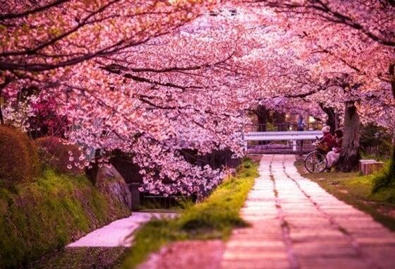 árboles sakura en flor