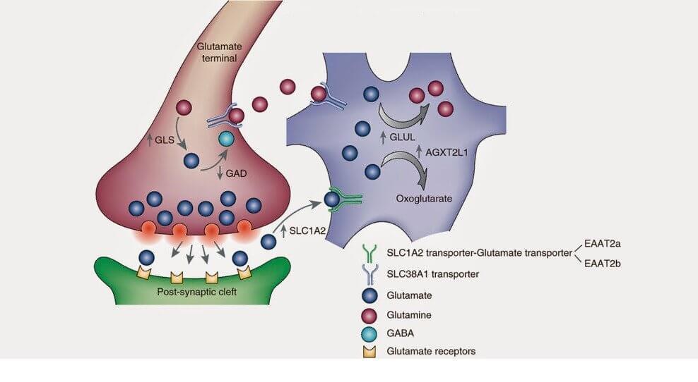 síntesis del glutamato