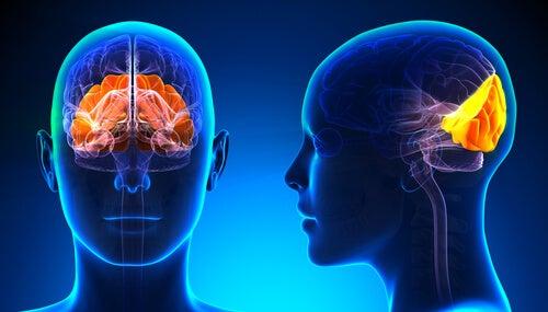 Lóbulo occipital: estructura y funciones