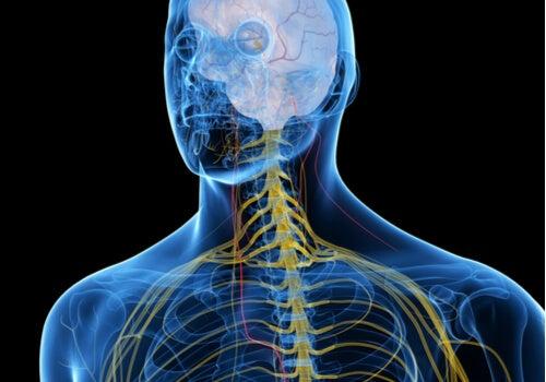 Perfil de un hombre con el sistema nervioso de color