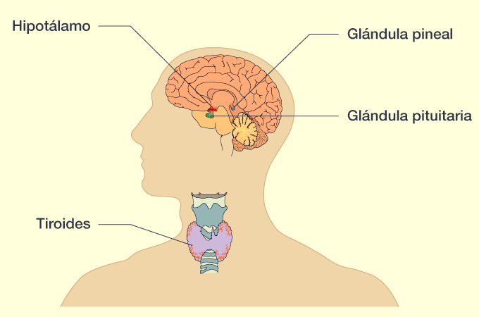 Cuales son las principales glandulas endocrinas del cuerpo humano