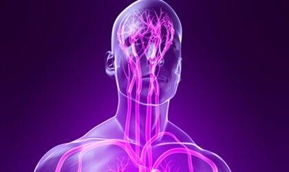 Sistema nervioso parasimpático: características y funciones