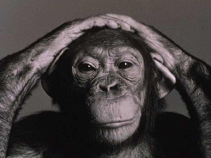 chimpancé simbolizando los estudios de Wolfgang Köhler