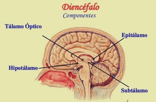 estructura del diencéfalo con el epitálamo