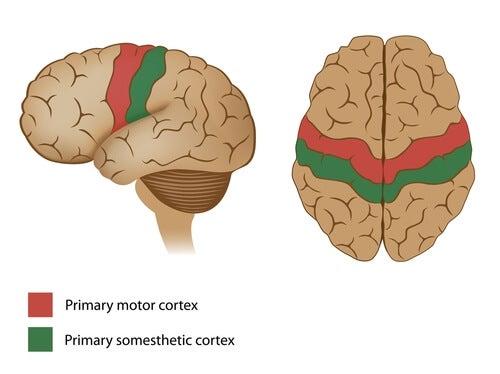 Corteza motora señalada en un cerebro
