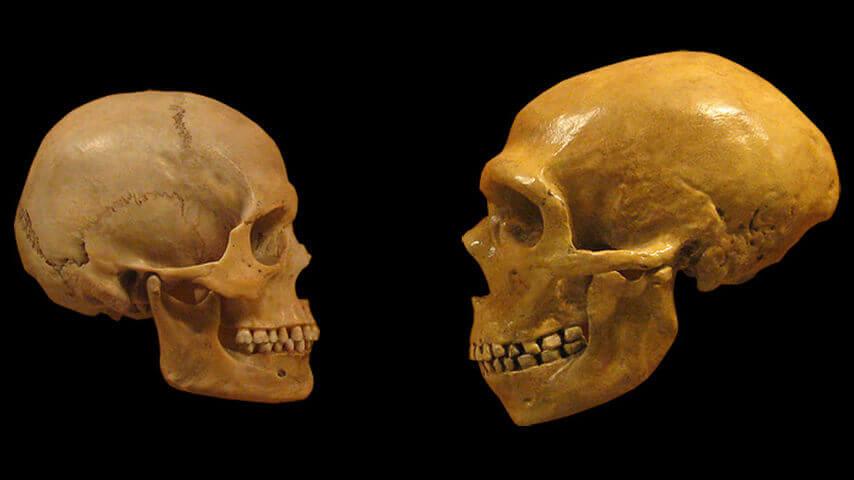 Cráneo de un humano y cráneo de un neardental