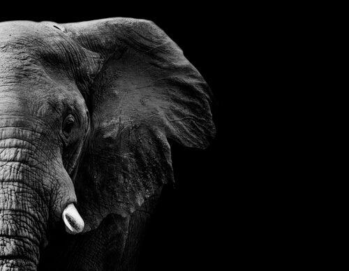 Elefante negro