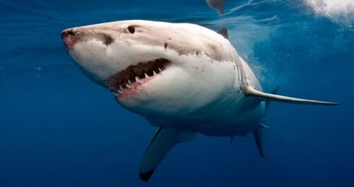 tiburón que atacó a Bethany Hamilton