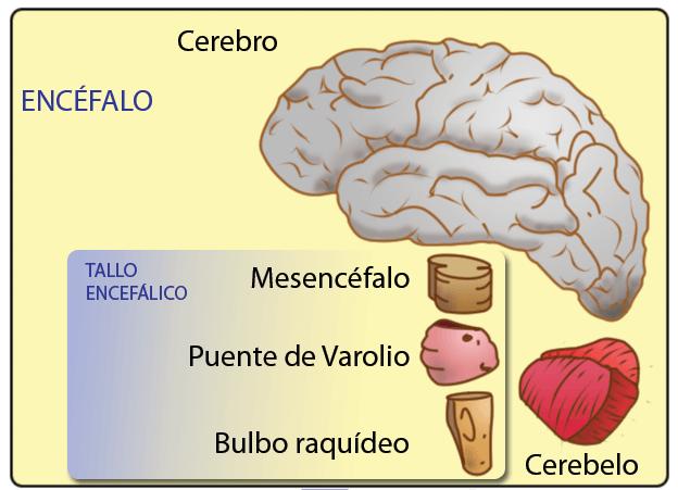 Estructuras del encéfalo