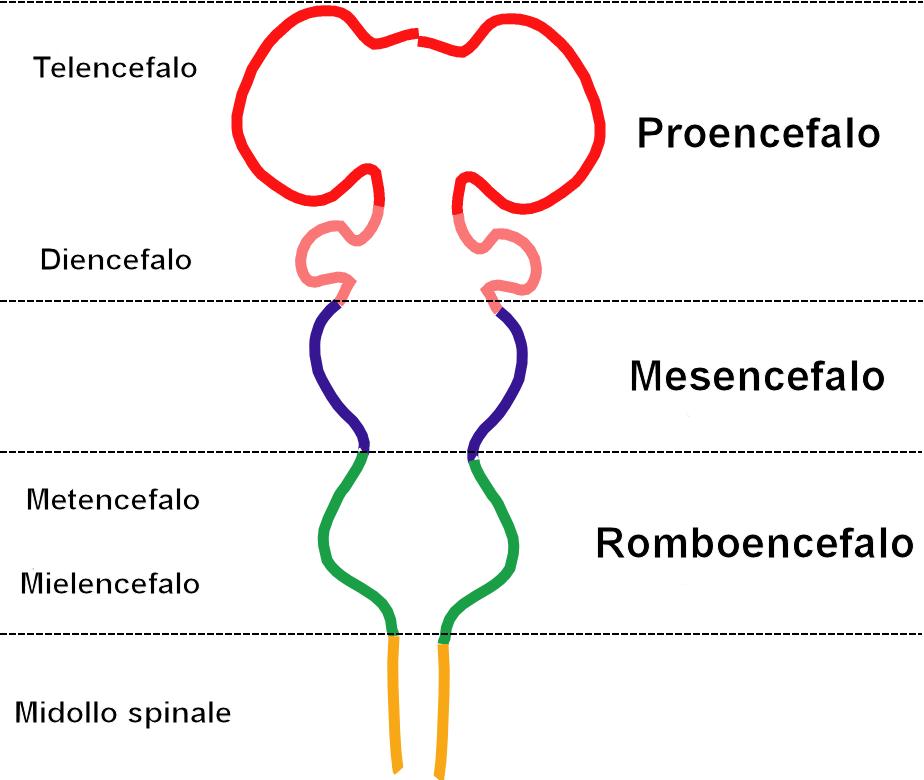 Estructuras del tronco encefálico