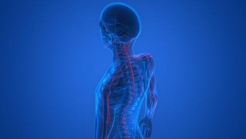 El Desarrollo Del Sistema Nervioso Etapas Y Características