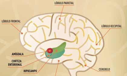 Corteza entorrinal, el área donde se consolida la memoria