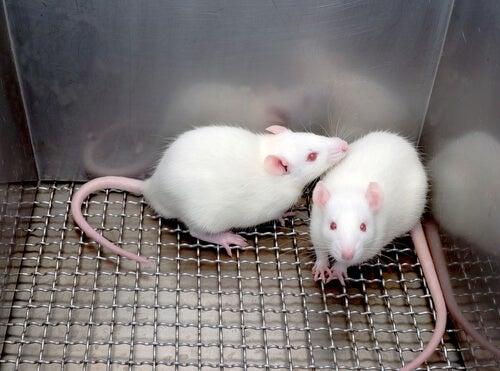 Dos ratones de laboratorio