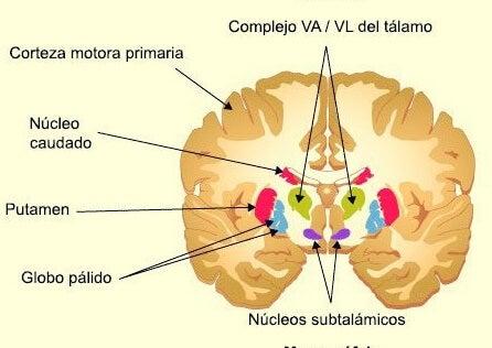 Ganglios basales anatomía