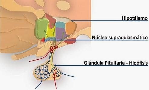 Nucleo supraquiasmático