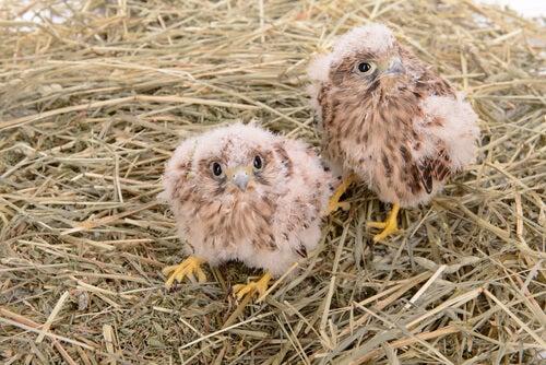 Crías de halcón