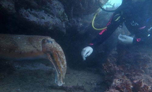 A diver touching a cuttlefish.