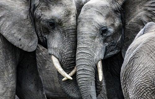 Dos elefantes juntos