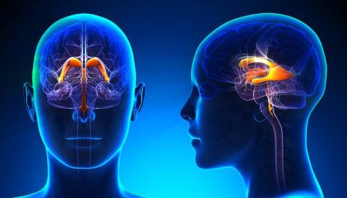 Sistema ventricular cerebral: características y funciones