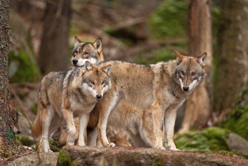 Tres lobos