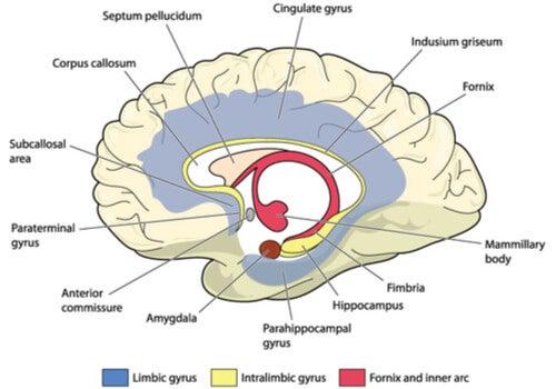 Cerebro con el giro cingulado señalado