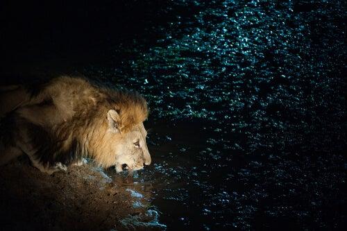 León bebiendo agua