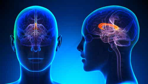 Cuerpo calloso: funciones y lesiones