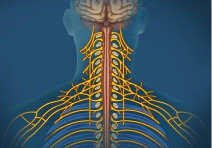 Sistema nervioso somático: características y funciones