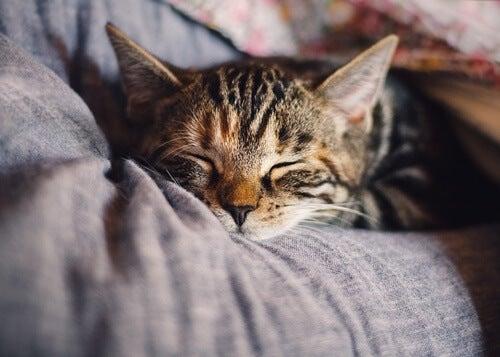 Gato representando el dormir con nuestras mascotas