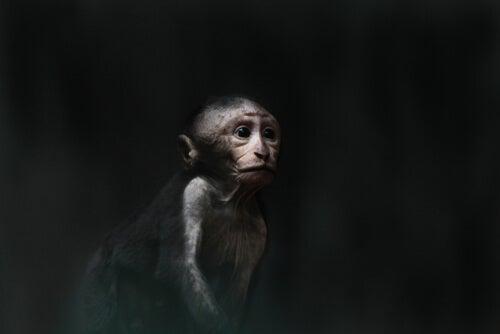 El pozo de la desesperanza: un impresionante experimento con monos