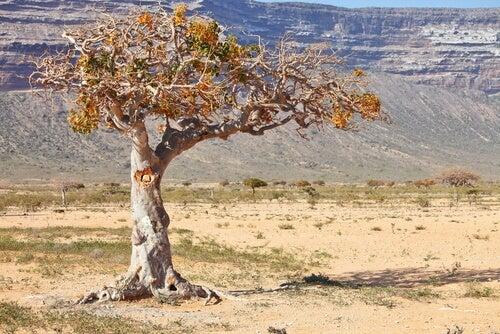 Árbol de Mirra