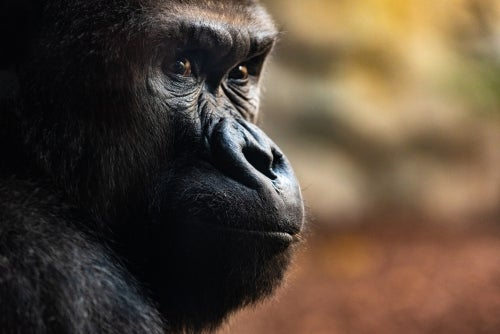 Tres impresionantes ritos funerarios de los gorilas