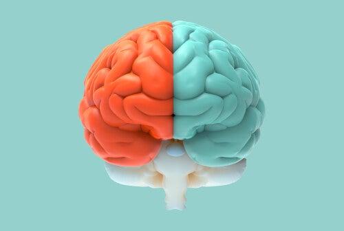 Cerebro con los hemisferios coloreados