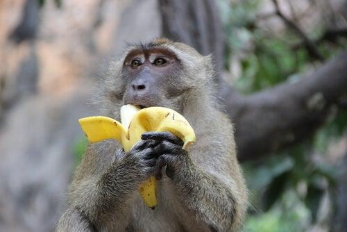 El experimento de los monos y las bananas
