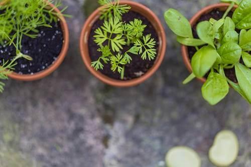 Plantas representando el placer de Cultivar un huerto en casa durante la pandemia