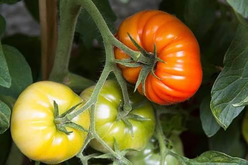 Tomates para representar Cultivar un huerto en casa durante la pandemia