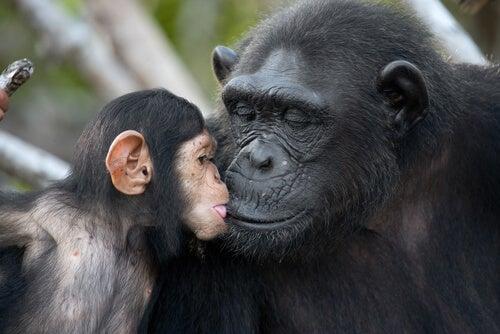 Cría de chimpancé con su madre